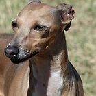 Italian Greyhound - Cosette by RainbowsEnd