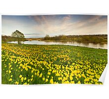 River Dee and the Sea of Yellow Daffodils Poster