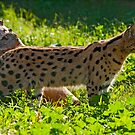 Serval (Leptailurus serval) by Konstantinos Arvanitopoulos