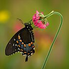 Swallowtail Butterfly by christopher schlaf