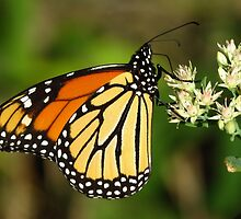Monarch on Sedum by lorilee