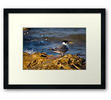 Tern On The Rocks Framed Print