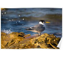 Tern On The Rocks Poster