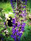 Bee on Salvia by FrankieCat