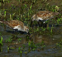Dunlins Foraging in a Floodplain by Robert Miesner