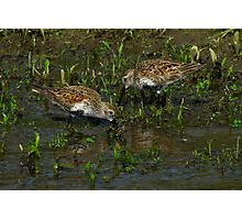 Dunlins Foraging in a Floodplain Photographic Print