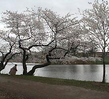 Cherry Blossoms, Newark by Jason Teeple