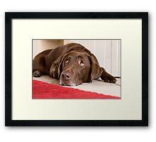 Chocolate Labrador Framed Print
