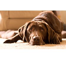 Chocolate Labrador Photographic Print