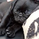 Sleeping Pug by malinakphoto