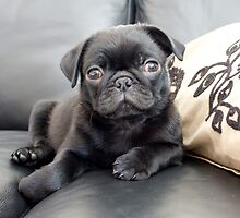 Pug Puppy by malinakphoto