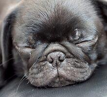 Sleeping Pug by malinakphoto