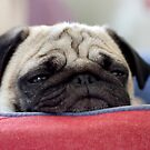 Pug by malinakphoto