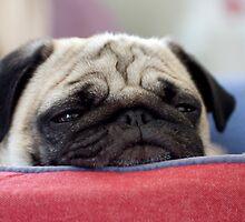 Pug by malinakphoto