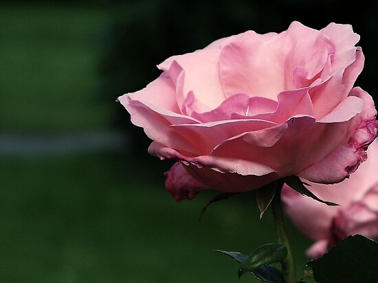 Rose by Mike  MacNeil