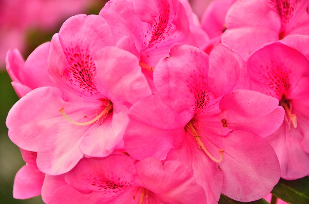 pink rhododendron flowers by Stephen Frost