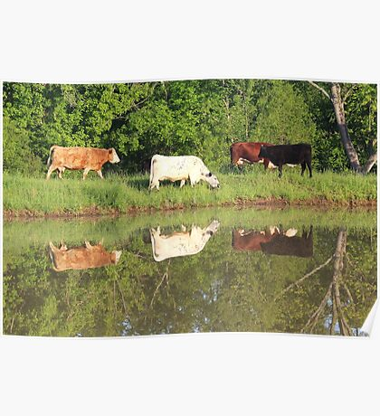 Four cows by pond, taken with a canon rebel t3i. taken in southeast missouri Poster