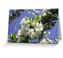 Sour cherry blossoms Greeting Card