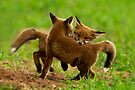 Red Fox Cubs Playing by Neil Bygrave (NATURELENS)