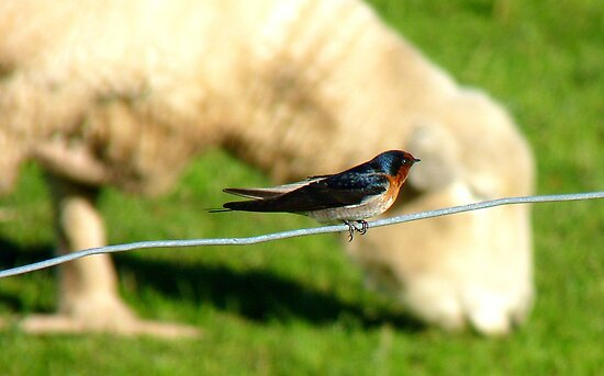 Hey Sir!!..You Eat Allot Of Grass!!! - Welcome Swallow - NZ by AndreaEL