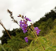 flowers in Swaziland by habraham