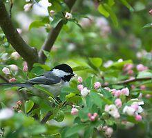 Black-capped Chickadee in Apple Blossoms by Steve Borichevsky