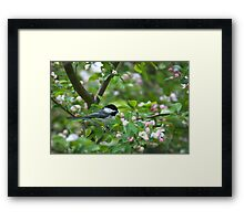 Black-capped Chickadee in Apple Blossoms Framed Print
