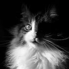 Whiskers ~  Shadows &amp; Light ~ Captivated Cat by Chantal PhotoPix