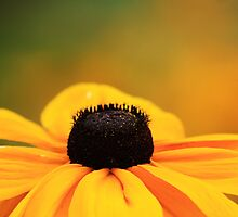 Brown Eyed Susan by Alyce Taylor