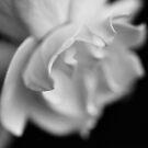 Gardenia by Karen E Camilleri