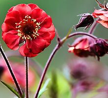 Geum Blossoms - Flame of Passion by T.J. Martin