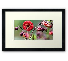 Geum Blossoms - Flame of Passion Framed Print