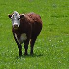 Curious Cow by Sheryl Gerhard