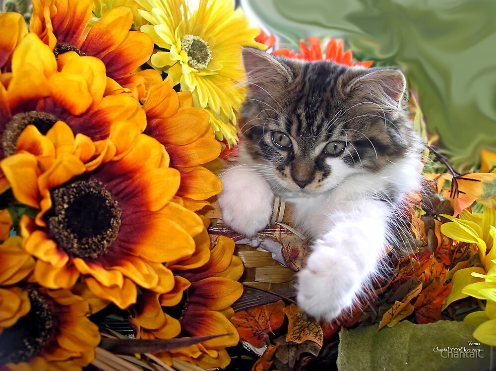 """Venus ~ Cute Kitty Cat Kitten in Fall Sunflowers and ..."