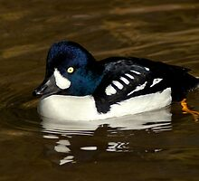 Barrows Goldeneye by Jeff Weymier