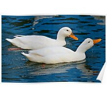 Domestic Duck Poster
