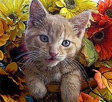 Di Milo ~ Perplexed ~ Fall Kitten by Chantal PhotoPix