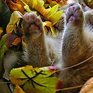 Di Milo ~ Belly up ~ Fall Kitten by Chantal PhotoPix