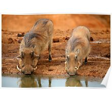 Warthogs At Waterhole Poster