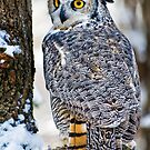 Dr. Hoo...Great Horned Owl by Sue Ratcliffe
