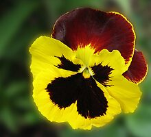 Little Treasure - Sunlit Amber and Gold Pansy by BlueMoonRose