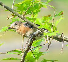 Lady Bluebird builds a Nest by Caren