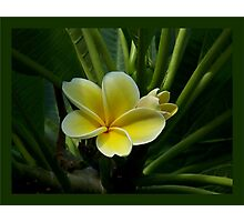 Lemon Drop Frangipani - Essence Photographic Print
