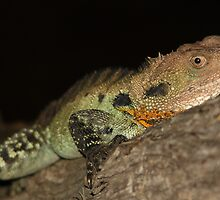 Gippsland Water Dragon by EnviroKey