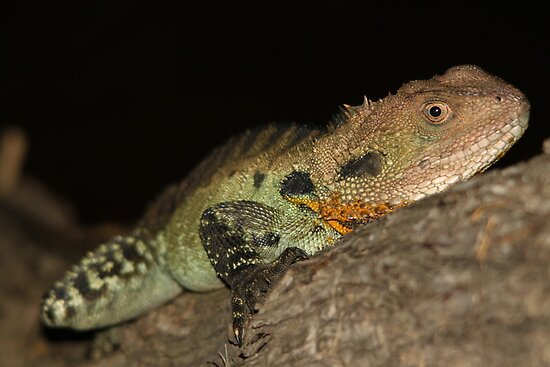Gippsland Water Dragon by EnviroKey