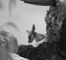 Yellow Footed Rock Wallaby by RKLazenby