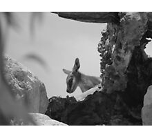 Yellow Footed Rock Wallaby Photographic Print