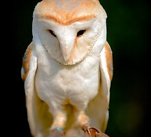Angelic looking Barn Owl by Dave  Knowles