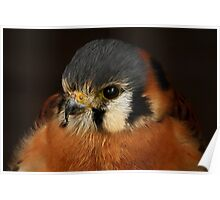The American Kestrel Up Close Poster