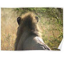 """""""Expressive Mood"""" - male lion (Panthera leo) - Kruger Nat. Park - South Africa Poster"""